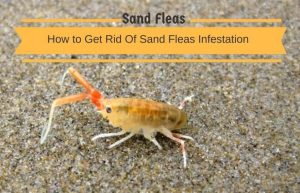 Sand Flea Bites Suck Absolute Foot And Ankle Clinic